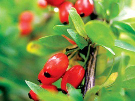 12 положительных свойств ягод барбариса