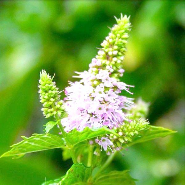 9 лечебных свойств полевого хвоща