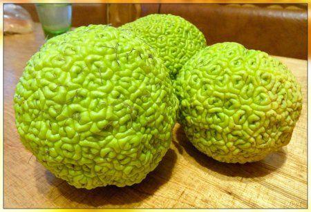 Адамово яблоко - лечебные свойства и рецепты