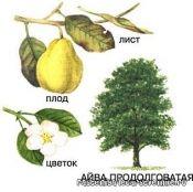 Айва - свойства, калорийность, состав, рецепты и противопоказания