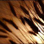 Аллергия на пшеничную муку это целиакия