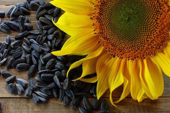 Баловство или здоровая еда? Свойства, польза и вред семечек подсолнуха для женщин и мужчин