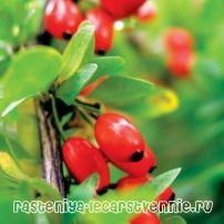 Барбарис - полезные и лечебные свойства, противопоказания