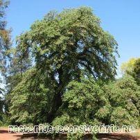 Берест ильм дерево – применение, фото, описание