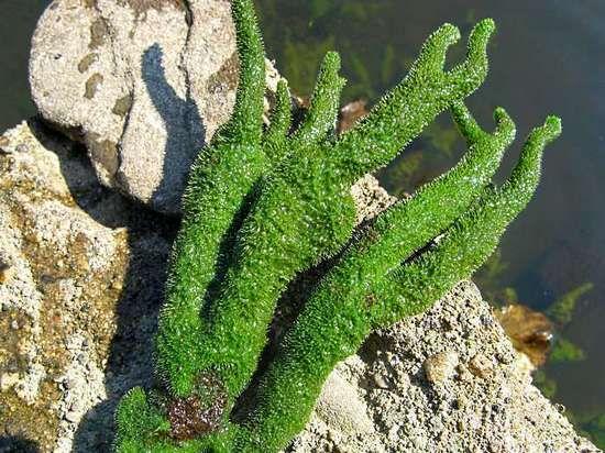 Бодяга от растяжек – отзывы о применении порошка и геля