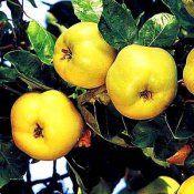 Целебные плоды японской айвы