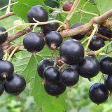 Целебные свойства черной и белой смородины