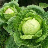 Целебные свойства капусты и ее применение