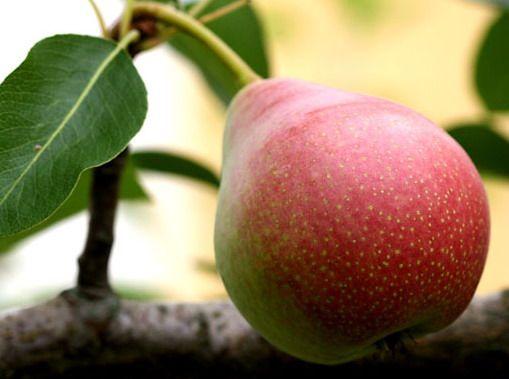 Чем полезна груша? Сколько калорий в груше?
