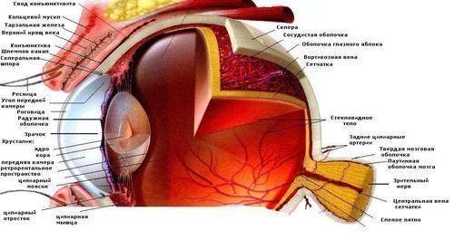 Что такое палочки и колбочки сетчатки глаза