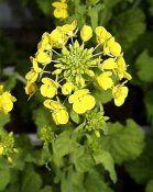 Фото растения репа огородная