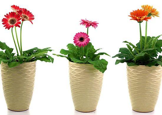 Герберы в горшках: фото растений