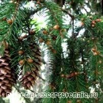 Хвойные растения России :: Любопытные факты