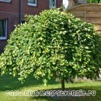 Ива козья: фото дерева, описание