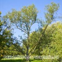 Ива ломкая (шаровидная, ракита) – фото, применение, описание