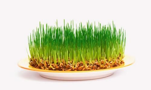 Как проращивать зёрна?