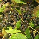 Лечебные свойства и применение бархата амурского