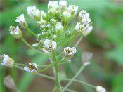 Лекарственное растение пастушья сумка