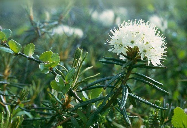 Лекарственные растения богульник болотный