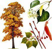Лекарственные растения: липа мелколистная