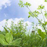 Rośliny lecznicze są przeciwwskazane w czasie ciąży