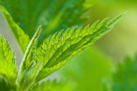 Листья крапивы. Полезные свойства
