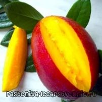 Манго фрукт - польза и вред, выращивание, противопоказания