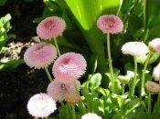 Многолетние цветы маргаритки
