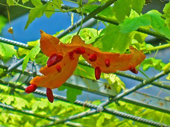 Различные части растения Момордики