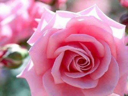 Мысленный образ розы как метод прощения