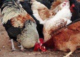 Новый вирус птичьего гриппа устойчив к