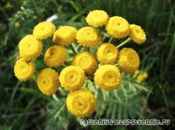 О растении с мелкими желтыми цветками, лекарственном