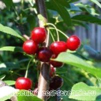 Описание сортов: низкорослые сорта вишни