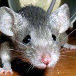 Опыты на мышах: борьба с ожирением