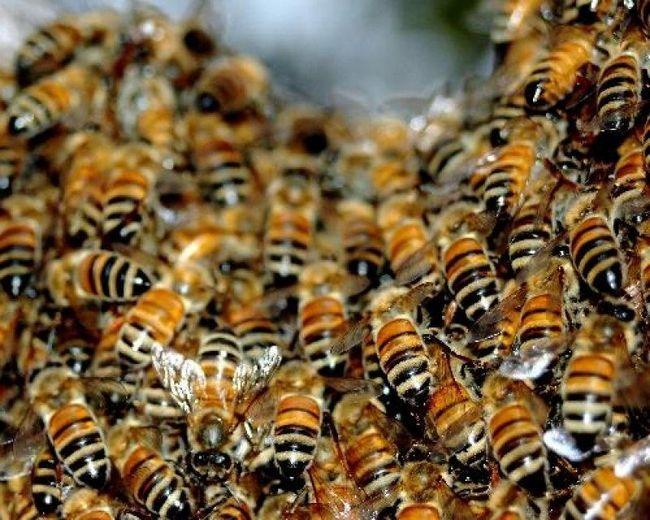 Пчелиный подмор: лечебные свойства, рецепты для лечения суставов