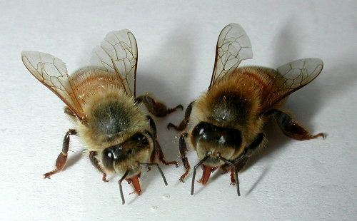 Пчелиный подмор: настойка