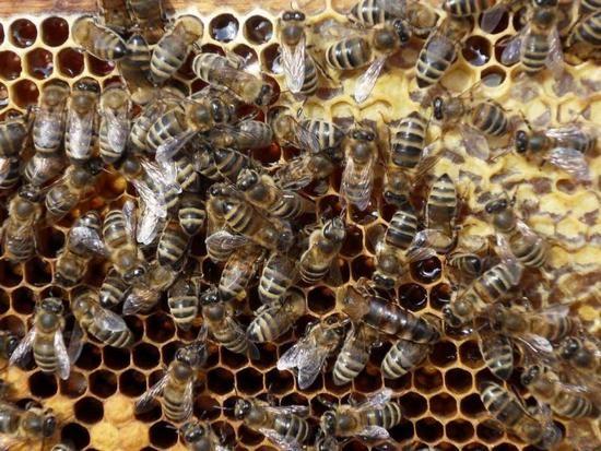 Пчелиный подмор: польза и вред удивительного продукта