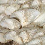 Питательные и целебные свойства грибов вешенки