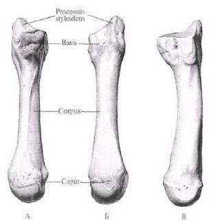 Пястная кость человека