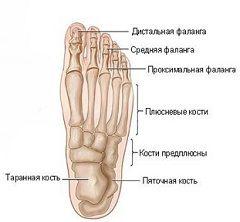 Строение стопы человека. Плюсневые кости