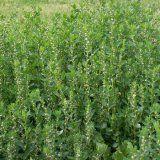 Показания к применению травы спорыш