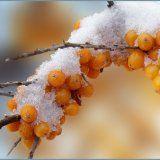 Полезные свойства плодов облепихи