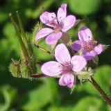 Полезные свойства растения аистник