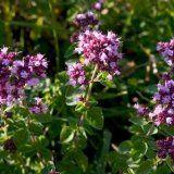 Полезные свойства растения душицы