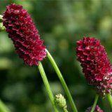 Полезные свойства растения кровохлебка