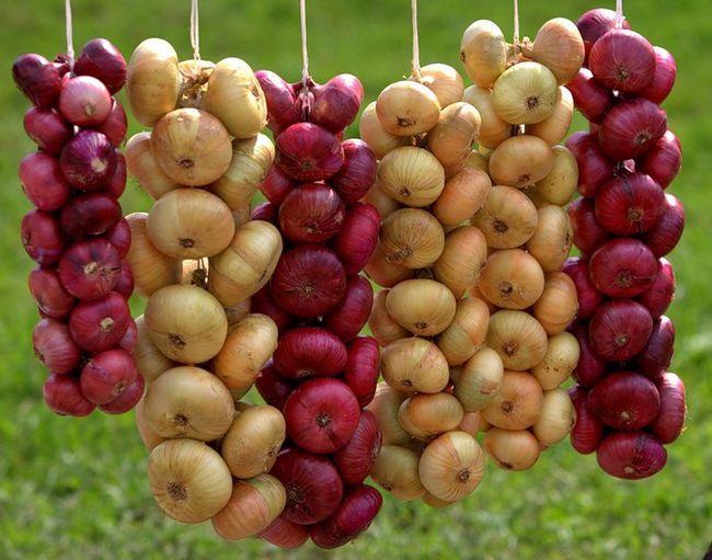 Полезные свойства репчатого лука