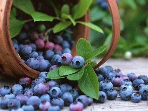 Польза черники: ягода для здоровья