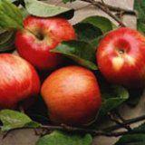Польза яблок для здоровья человека