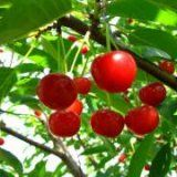 Польза вишни для здоровья человека