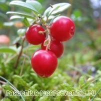Растения тайги России :: Интересные факты